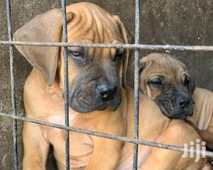 Baby Male Purebred Boerboel | Dogs & Puppies for sale in Nairobi, Kahawa