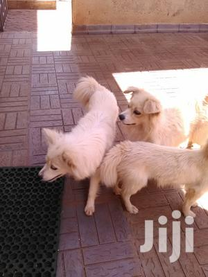 Young Male Purebred Chihuahua | Dogs & Puppies for sale in Nairobi, Kilimani