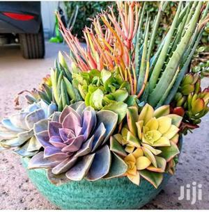 Natural Indoor And Outdoor Plants And Flowers Potted And Succulent   Garden for sale in Machakos, Syokimau