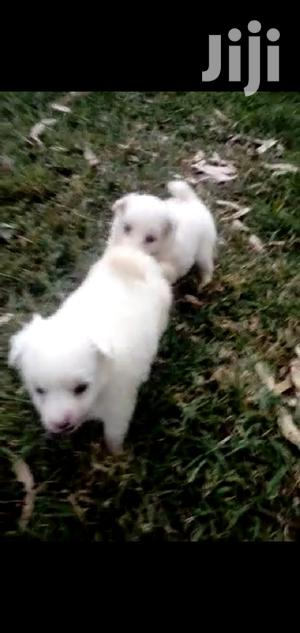 Baby Male Mixed Breed Maltese | Dogs & Puppies for sale in Nairobi, Nairobi Central