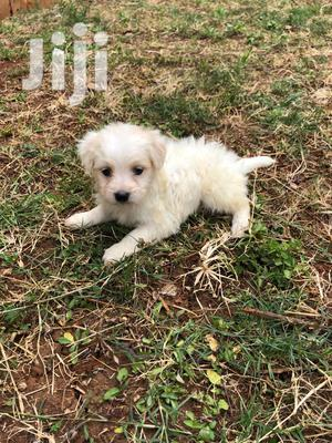 1-3 Month Male Purebred Maltese   Dogs & Puppies for sale in Nairobi, Nairobi Central
