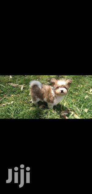 Baby Male Mixed Breed Yorkshire Terrier | Dogs & Puppies for sale in Nairobi, Nairobi Central