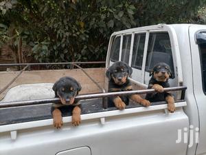 Baby Female Purebred Rottweiler | Dogs & Puppies for sale in Nairobi, Karen