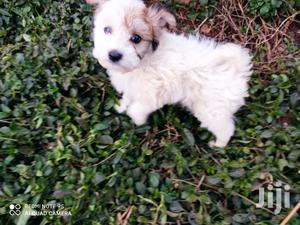 Baby Male Purebred Havanese   Dogs & Puppies for sale in Nairobi, Nairobi Central