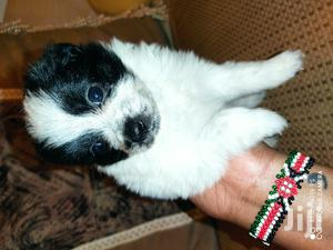 Baby Female Purebred Havanese | Dogs & Puppies for sale in Nairobi, Nairobi Central