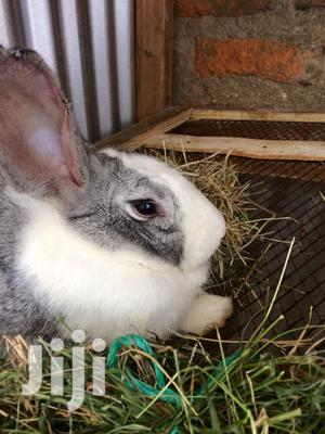 Rabbit Urine & Manure | Feeds, Supplements & Seeds for sale in Kisumu Central, Migosi