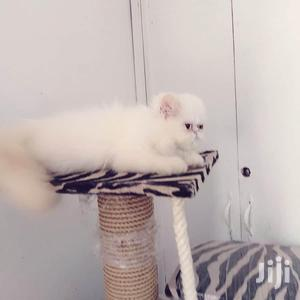 Young Male Purebred Persian   Cats & Kittens for sale in Mombasa, Nyali