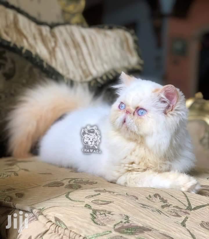 Baby Male Purebred Persian   Cats & Kittens for sale in Nyali, Mombasa, Kenya