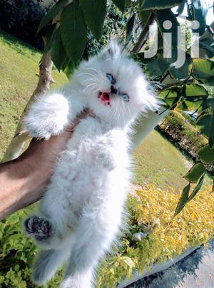 Baby Male Purebred Persian   Cats & Kittens for sale in Mombasa, Nyali