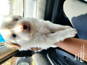1-3 Month Female Purebred Maltese | Dogs & Puppies for sale in Nairobi, Nairobi Central