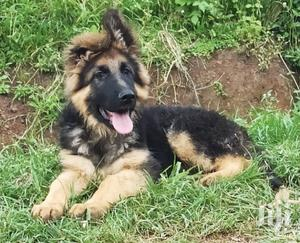 1-3 Month Male Purebred German Shepherd   Dogs & Puppies for sale in Nairobi, Kahawa