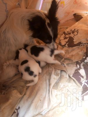 1-3 Month Male Purebred Chihuahua | Dogs & Puppies for sale in Nairobi, Kilimani