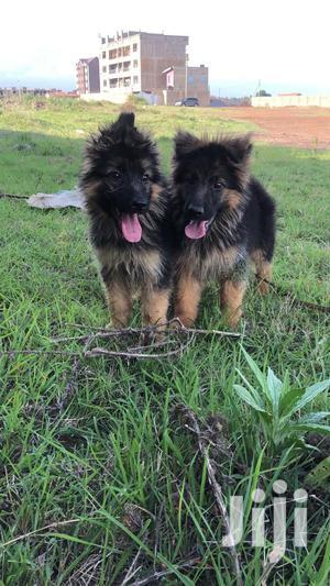 1-3 Month Male Purebred German Shepherd   Dogs & Puppies for sale in Kiambu, Juja
