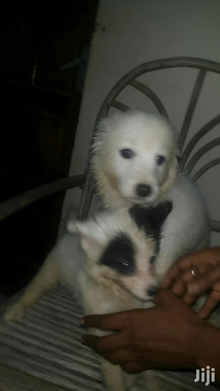 Archive: 1-3 month Female Mixed Breed Chihuahua