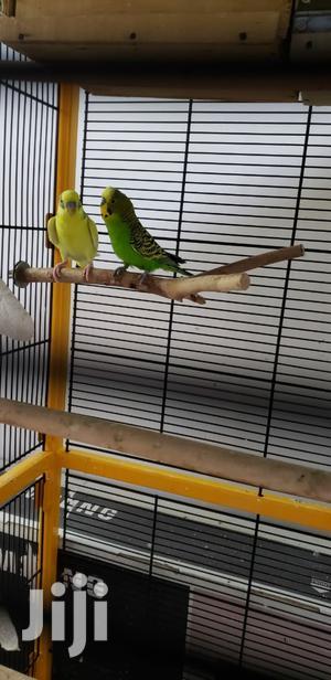 Budgies Pair   Birds for sale in Mvita, Majengo