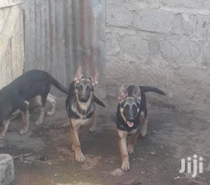 3-6 month Female Purebred German Shepherd   Dogs & Puppies for sale in Nairobi, Karen