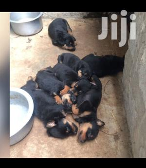 1-3 month Male Purebred Rottweiler   Dogs & Puppies for sale in Nairobi, Karen