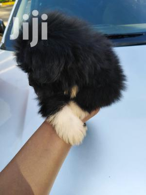 1-3 month Male Purebred Havanese   Dogs & Puppies for sale in Nairobi, Nairobi Central