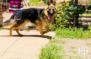 6-12 Month Male Purebred German Shepherd   Dogs & Puppies for sale in Nairobi, Langata