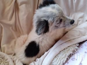 6-12 Month Female Mixed Breed Japanese Spitz | Dogs & Puppies for sale in Nairobi, Roysambu