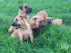 1-3 Month Male Purebred Boerboel   Dogs & Puppies for sale in Kiambu, Kikuyu