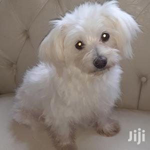 3-6 Month Female Purebred Maltese   Dogs & Puppies for sale in Nairobi, Nairobi Central