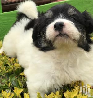 1-3 Month Male Purebred Havanese   Dogs & Puppies for sale in Kiambu, Ruiru