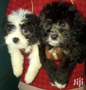 1-3 Month Male Purebred Maltese | Dogs & Puppies for sale in Kiambu, Ruiru