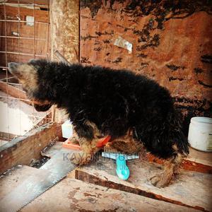 1-3 Month Male Purebred German Shepherd   Dogs & Puppies for sale in Kiambu, Thika