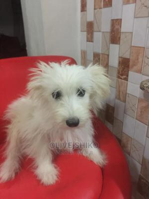 3-6 Month Female Purebred Maltese   Dogs & Puppies for sale in Nairobi, Westlands