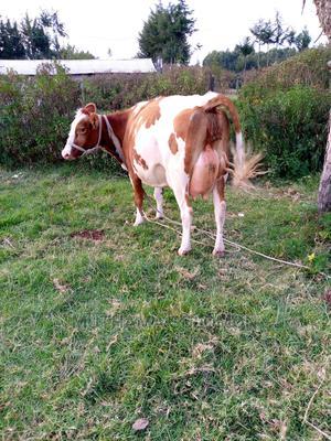 A Incalf Aryshire Breed for Sale   Livestock & Poultry for sale in Nyandarua, NjabiniKiburu