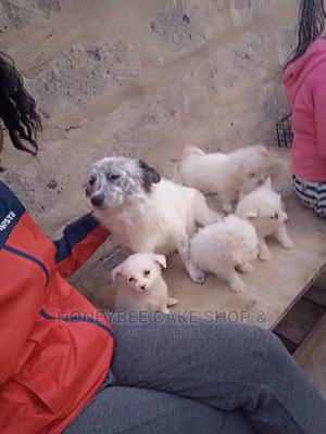1-3 Month Male Mixed Breed Chihuahua   Dogs & Puppies for sale in Kajiado, Kitengela