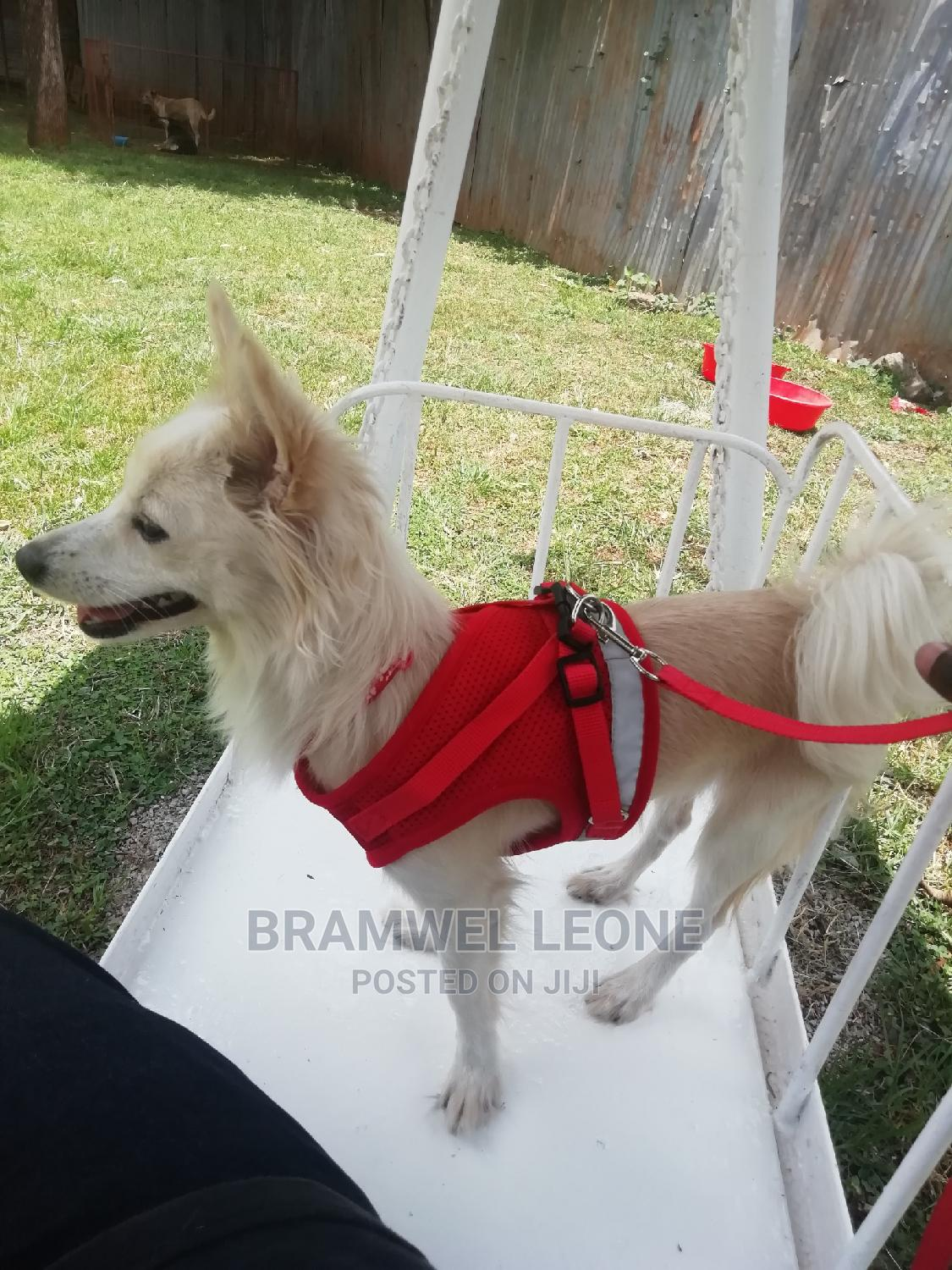 Archive: 6-12 Month Female Mixed Breed Japanese Spitz