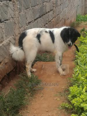 1+ Year Female Purebred Caucasian Shepherd   Dogs & Puppies for sale in Embu, Kyeni North