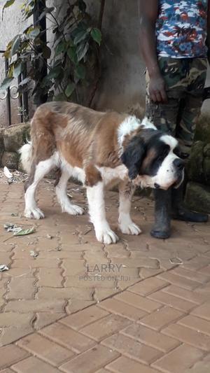1+ Year Female Purebred Saint Bernard   Dogs & Puppies for sale in Nairobi, Karen