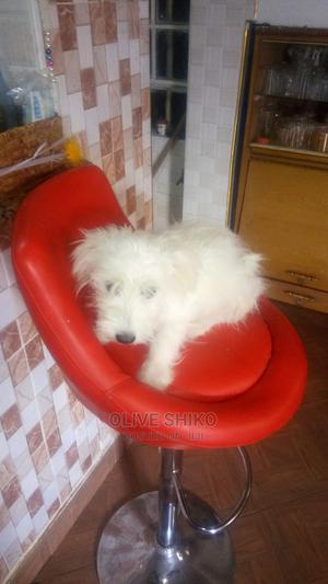 3-6 Month Female Purebred Maltese   Dogs & Puppies for sale in Nairobi, Kahawa