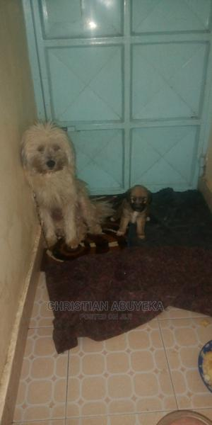 0-1 Month Female Mixed Breed Maltese | Dogs & Puppies for sale in Nairobi, Embakasi