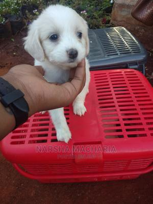 1-3 Month Male Mixed Breed Havanese   Dogs & Puppies for sale in Nairobi, Nairobi Central