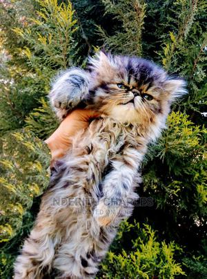 1-3 Month Female Purebred Persian   Cats & Kittens for sale in Nairobi, Kasarani