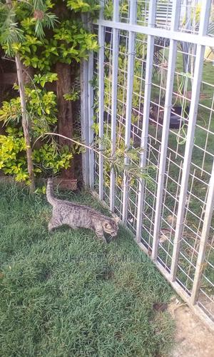 6-12 Month Male Mixed Breed Persian   Cats & Kittens for sale in Nairobi, Roysambu