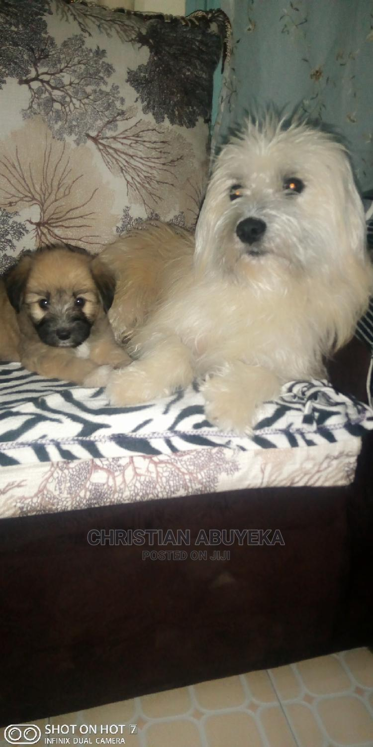 Archive: 0-1 Month Female Mixed Breed Maltese