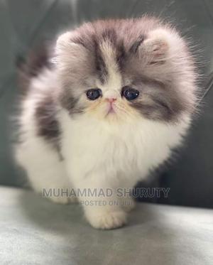1-3 Month Female Purebred Persian   Cats & Kittens for sale in Mvita, Majengo
