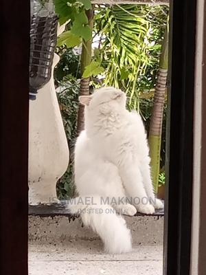 1+ Year Female Purebred Persian   Cats & Kittens for sale in Mombasa, Makadara (Msa)
