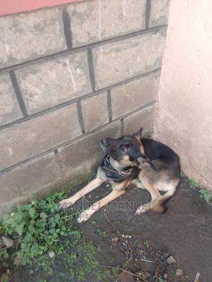 6-12 Month Male Purebred German Shepherd   Dogs & Puppies for sale in Nairobi, Makadara
