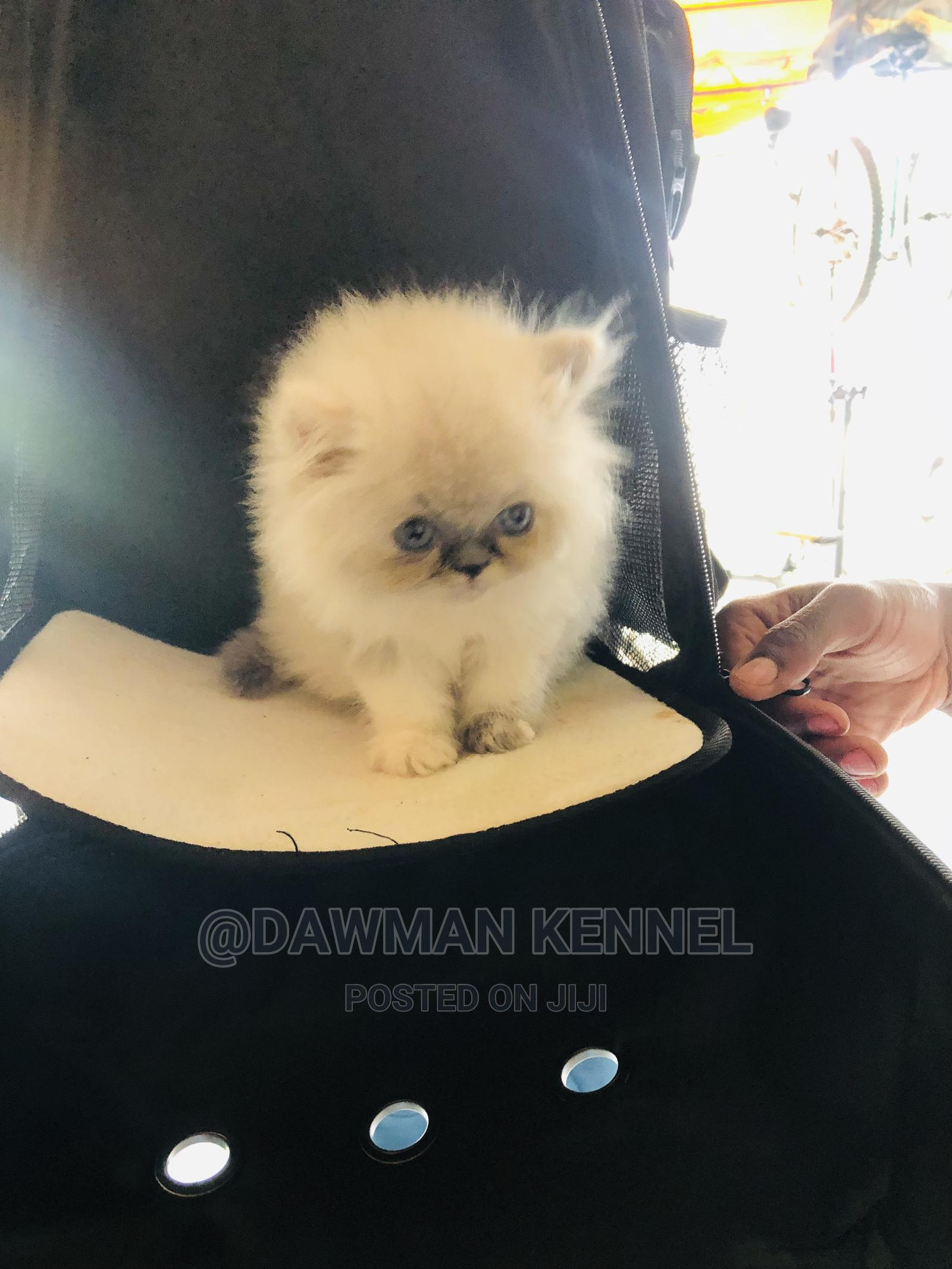 1-3 Month Male Purebred Persian   Cats & Kittens for sale in Nairobi Central, Nairobi, Kenya