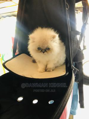 1-3 Month Male Purebred Persian   Cats & Kittens for sale in Nairobi, Nairobi Central