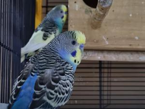Budgies Parrots   Birds for sale in Mombasa, Tononoka