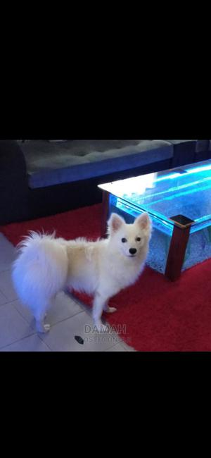 1+ year Male Purebred Japanese Spitz   Dogs & Puppies for sale in Nairobi, Thome
