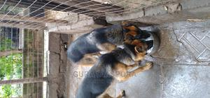 6-12 Month Male Purebred German Shepherd   Dogs & Puppies for sale in Nairobi, Kahawa