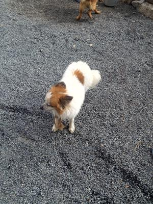 1+ Year Male Mixed Breed Chihuahua | Dogs & Puppies for sale in Kajiado, Kitengela